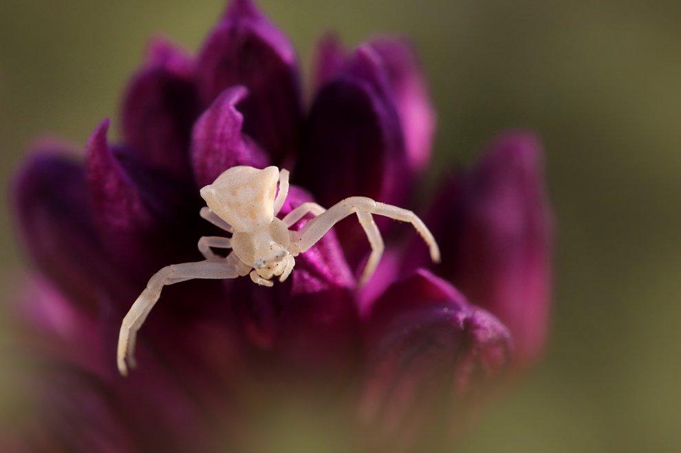 Orchidee Vesuvio