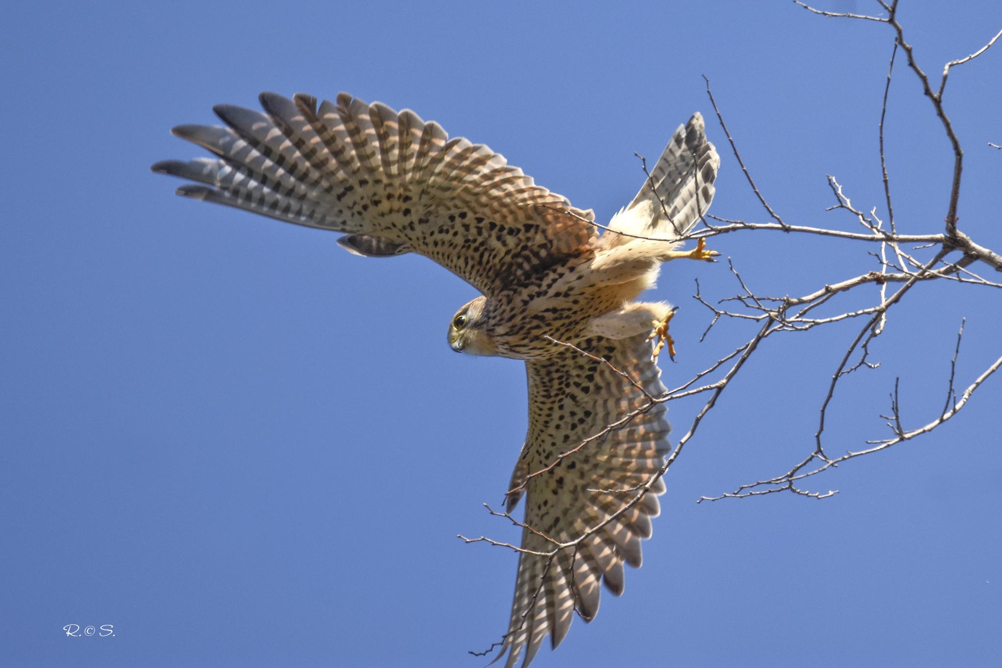 L'apertura alare del gheppio ripresa dal basso.