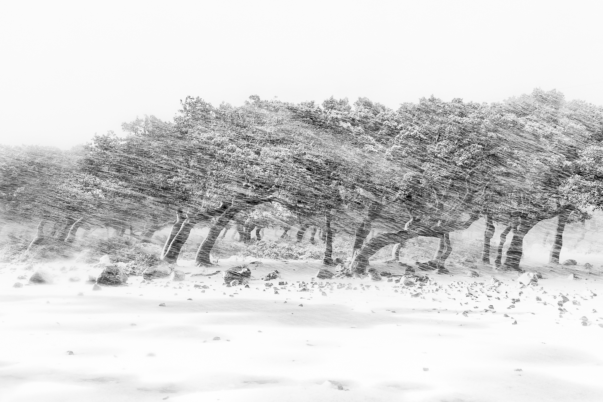 Cork forest in a blizzard