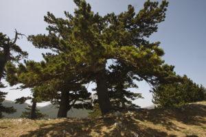 Il pino loricato for Alberi simili alle querce