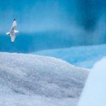 4-Gabbiano tridattilo tra ghiacci e nevischio, Islanda