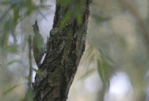 Picchio verde (Picus viridis) 0214
