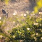 1-Ciro De Simone - Cervo femmina, Parco Nazionale d'Abruzzo