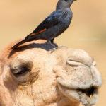 2-Saverio Gatto - Storno di Tristram su Dromedario, Oman