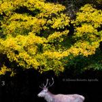 3-Alfonso Roberto Apicella - Cervo e Foliage, Abruzzo