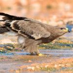 4- Saverio Gatto - Aquila delle Steppe, Oman
