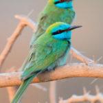 2-Saverio Gatto - Gruccioni verdi minori, Oman