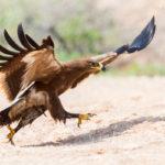 4-Saverio Gatto - Aquila delle Steppe, Oman