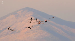 02-Carlo Falanga - The Pink Flight : Volo di fenicotteri rosa ripreso alle Soglitelle (Campania)