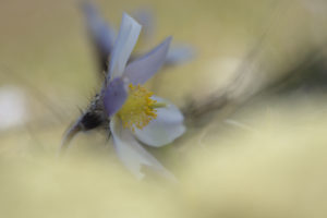 Anemone primaverile (Pulsatilla vernalis) 6763