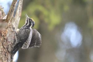 Picchio tridattilo (Picoides tridactylus) 3162