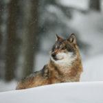 4 - Lupo - Foresta Boema (Bayerischer Wald) - Salvatore Sepe