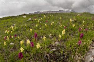2 - Dactylorhiza sambucina, Gran Sasso (Abruzzo) - Antonella Taddei