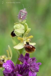 2 - Ophrys sphegodes e dolycoris baccarum - Gran Sasso (Abruzzo) - Antonella Taddei