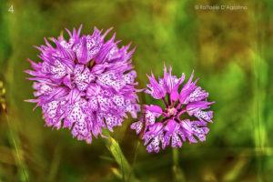 4- Neotinea tridentata, Valle delle Orchidee (Campania) - Raffaele D'Agostino