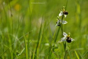 6 - Ophrys apifera - Cilento (Campania) - Alessia Ranucci