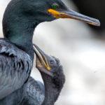 1 - Marangone dal ciuffo con pulcino, Isole Farne (Inghilterra)  - Ciro De Simone