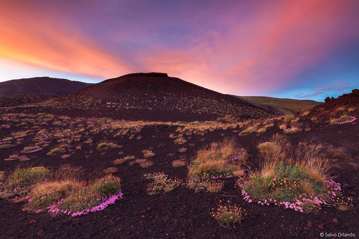 Fioritura della saponaria aetnensis, flora endemica del Parco dell'Etna