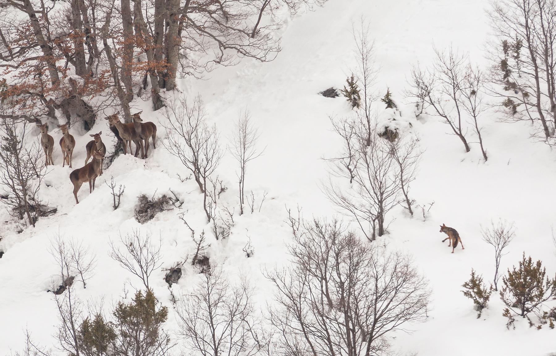 Confronto tra un lupo e un gruppo di cervi rimasti bloccati da un'abbondante nevicata. Parco Nazionale d'Abruzzo, Lazio e Molise. 2012. DSLR, 500mm + 2X