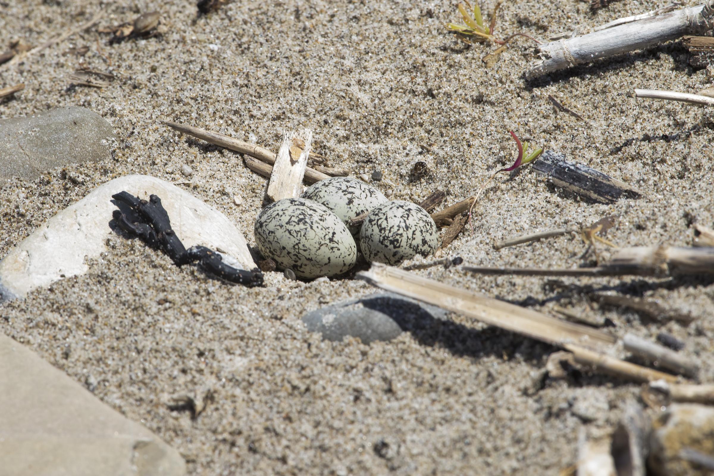 Uova di Fratino in una classica depressione sulla sabbia