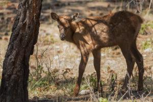 cervo mulo cucciolo