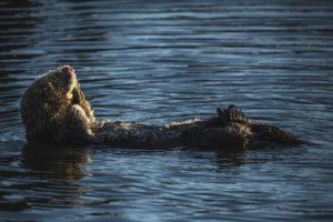 lontra marina