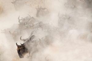 Il periodo della grande migrazione. Migliaia di erbivori attraversano il Mara. La polvere che si solleva durante la corsa  per la traversata  impedisce quasi di vederli
