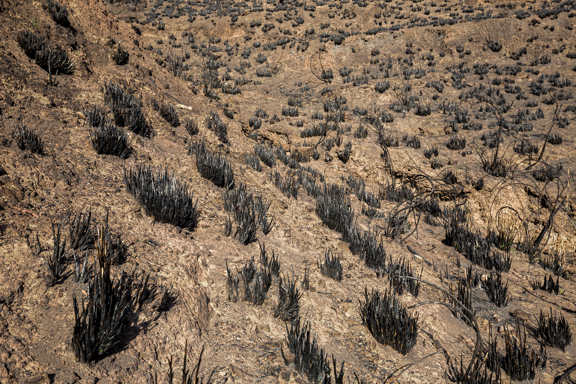 Prateria mediterranea ridotta in cenere, Madonie (Pa) 2020