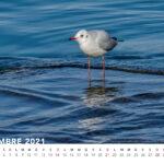 Novembre 2021 - Gabbiano comune  © Alberto Spisso