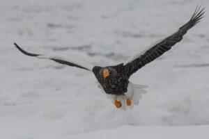 Steller Eagle